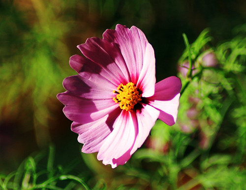Pink Cosmo 1