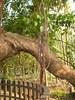 竹山鎮中和里救人老茄苳樹DSCN6033
