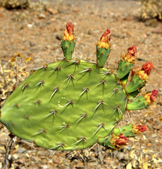 DSC_3156 (Vlad B.) Tags: arizona cactus flower