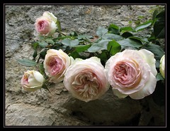 roses on my gardenwall (~pauline sirks ~) Tags: pink flowers roses white nature wall naturesfinest supershot pierrederonsard impressedbeauty diamondclassphotographer flickrdiamond onlythebestare azofdigitalediting