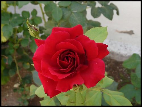 Rosa conventual