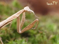 Ground mantis (Techuser) Tags: macro nature bug mantis insect backyard close praying cockroach predation raynoxdcr250 canons5is