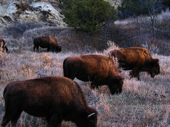 Feeding Bison getting ready for a long cold winter!! (ronjbaer) Tags: buffalo cows eating badlands herd grazing pard foraging