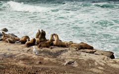 IMG_0855 (huyness) Tags: seals lajolla wildlife sealife beach ocean oceanside waves sealions cove tidepools