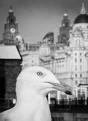 BRYAN_20161214_IMG_0417 (stephenbryan825) Tags: albertdock liverpool portofliverpoolbuilding royalliverbuilding animals birds buildings dome seagulls selects threegraces