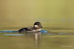 A female bufflehead on a golden lagoon (Chantal Jacques Photography) Tags: bufflehead duck wildandfree underduck bokeh depthoffield esquimaltlagoon goldenlagoon