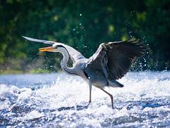 PhoTones Works #368 (TAKUMA KIMURA) Tags: wild bird heron forest river natural 自然 風景 kimura 鳥 川 森 野生 takuma 琢磨 鷺 gh2 木村 abigfave photones g100300
