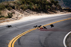 Skid Marks (Muzzlehatch) Tags: road coyote blind canyon roadkill curve raven acton escondido muzzlehatch