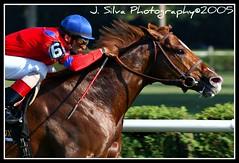 Leroidesanimaux---Animal Kingdom's Daddy in Saratoga (JSilvaPhotography) Tags: horses saratoga racing brazilian sire animalkingdom