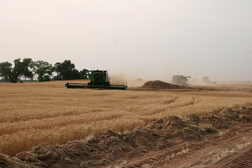 The combines cut around a new construction zone for an oil well.