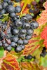 Autumn harvest in an English vineyard