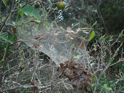 Social cobweb spider (Anelosimus studiosus) on...