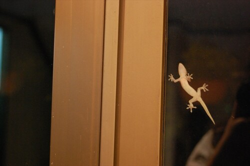 Gecko, Under