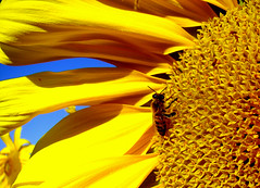 Girassol (Jorge L. Gazzano) Tags: macro flor bee abelha explore sunflower girassol duetos