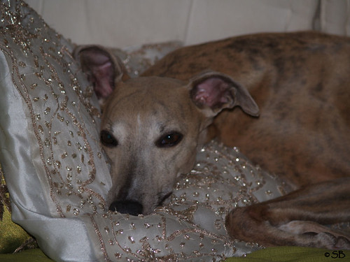 Whippet Coco