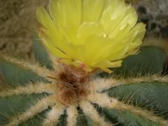 cactus 030 (blum1) Tags: cactus fiori piante ortobotanico