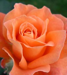 Lovely orange rose (Dave :-) (on and off)) Tags: flowers flower nature dave naturesfinest diamondclassphotographer flowersmakeeveryonehappy