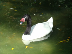 Black-necked Swan at the Los Angeles Zoo
