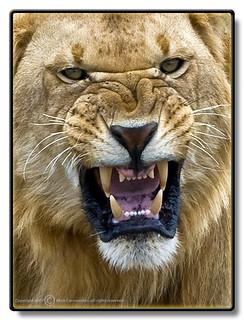 African Lion - Panthera Leo - Afrikanskt Lejon