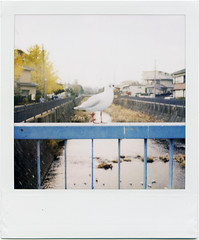 (masaaki miyara) Tags: autumn fall polaroid design photo graphic seagull yokohama  690  landcamera       argylestreettearoom masaakimiyara