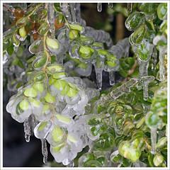 IMG_5386rw (hz536n/George Thomas) Tags: green oklahoma ice stillwater 2007 canon30d canonef70200mmf4lusm pse5