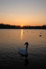 Sonnenuntergang (Michael Döring - thx for 20.000.000 views) Tags: swan schwan gelsenkirchen buer bergersee michaeldöring