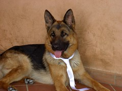 Wolf elegante (fcappe) Tags: dog dogs animal animals cane hund animali chen cani pastore pastoretedesco