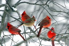 Birds Of A Feather (Acoustic Opus) Tags: winter red snow cold tree nature birds outdoors woods michigan branches flight feathers wintertime forests cardinals borntobewild birdsofafeather aclass naturesfinest 333views lifeasiseeit instantfave amazingshot 1female totalphoto specanimal abigfave 30favs30comments300views colorphotoaward avianexcellence wowiekazowie feateredfriends top20red heartawards heartsaward platinumheartawards betterthangood everydayissunday goldstaraward 4males