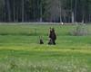Grizzly with cubs - Grave Creek Drainage (Dave Stiles) Tags: bear montana wildlife grizzly bearcub stiles nwmontana northwestmontana theperfectphotographer