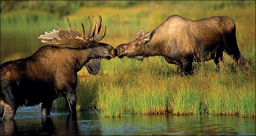Moose Couple.jpg