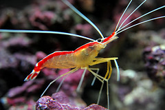 Nikon D3 Cleaner Shrimp (lbsmsp) Tags: sea macro nikon marine underwater nemo shrimp fullframe aquaruim nikkor noise cleaner f28 d3 saltwater jaques cleanershrimp 2485mm 2500iso brillianteyejewel betterthangood 2500asa