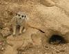 Meerkat  - Tulsa Zoo