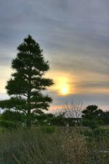 PineSunset in Awajishima (kurokojpn) Tags: sunset japan pine tokyo orlando   kansai awajishima kuroko canon40d photosjapan kurokoshiroko kuroko01 kurokoshiroko photographytokyo photostokyo bestoftokyo tokyobest orlandojpn thetokyopost kurokojpn