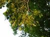 竹山鎮中和里救人老茄苳樹DSCN6042