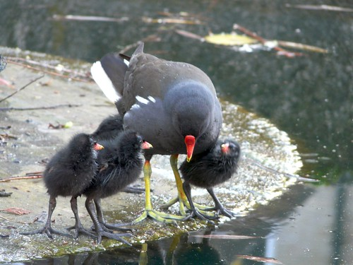 Moorhen and chicks on Albion Channel