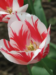 (bekahlp) Tags: flower zoo tulips cincinnati foliage