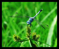Thumbi with coolers ! (Midhun Manmadhan) Tags: blue green closeup zoom dragonfly kerala canonpowershots3is thumbi