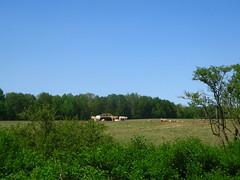 Mu (kasia o) Tags: nature germany deutschland countryside kuh cow weekend land mritz mritznationalpark kasiaortiz