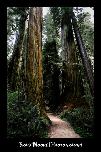 Redwoods_Trail