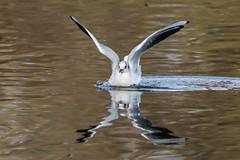 asturias gijón gaviota gaviotareidora parqueisabellacatólica