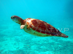 A Green in the Blue (WanderWorks) Tags: blue sea sunlight green eye nature water swimming marine underwater head turtle shell scuba diving sealife maldives dscn9960vmg