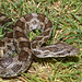 Great Plains Ratsnake - Photo (c) tom spinker, some rights reserved (CC BY-NC-ND)