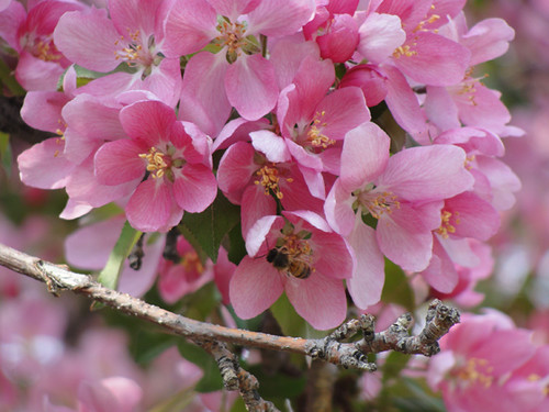Bee in the crabapple blossoms