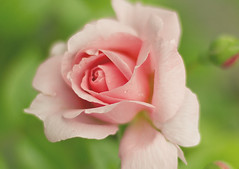 rose (Shandi-lee) Tags: birthday pink flowers summer flower detail macro green nature water fleur beautiful rose petals spring flora soft pretty pastel flor peach naturallight drop cox bloom buds bouquet bud delicate waterdrops mothersday waterdroplet briht shandilee