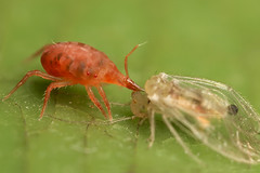 The end of a barkfly - Predatory spider mite (Lord V) Tags: red macro closeup bug insect eating arachnid prey predatory predation spidermite barkfly