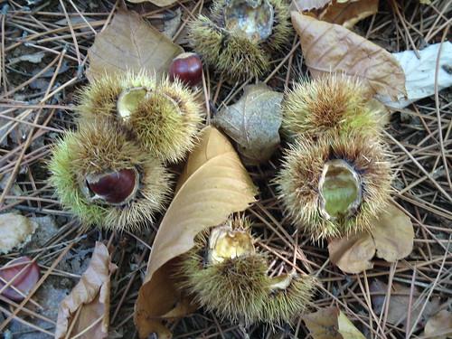 Privas Chestnuts 020