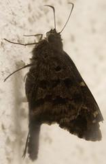 Dorantes Longtail (E_Journeys) Tags: brown insect october small skipper fl 2007 citruscounty hesperiidae bmna ventral spreadwingskippers pyrginae urbanus urbanusdorantes