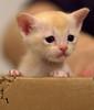 Cat In A  Box (fenlandsnapper) Tags: burnesekitten burmese cat canonef85mmf18usm 123 4weeksold lottie charlottelucas kitten 2550fav bestofcats 5prettykittycommentspartiv cat1000 cc8000