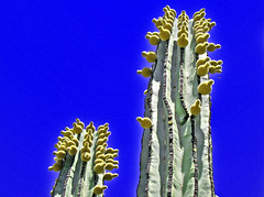 Pubescent Cactus (oybay) Tags: blue arizona cactus green nature fruit spring natural bluesky blooms sprouts desertbotanicalgardens blueribbonwinner photenix abigfave ultimateshot diamondclassphotographer
