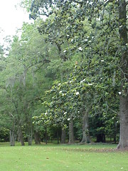 47 There were numerous large magnolia trees around Longwood - Natchez, Mississippi (sunnybrook100) Tags: mississippi natchez mansion antebellum longwood adamscounty